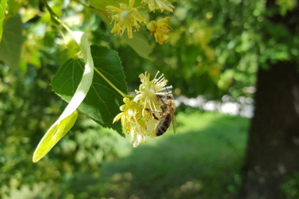 Mądra pszczoła nie pije ze zwiędłego kwiecia